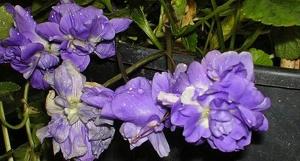 Violetta di Parma