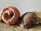 07_Conchiglie_fossili